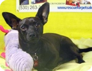 Chihuahua Mix Dog for adoption in Grass Valley, California - Chico