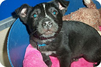 Labrador Retriever/Shepherd (Unknown Type) Mix Puppy for adoption in McIntosh, New Mexico - Clyde