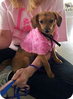 Dachshund/Chihuahua Mix Puppy for adoption in Los Angeles, California - Cassie