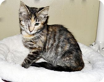 Domestic Shorthair Cat for adoption in Xenia, Ohio - Taylor