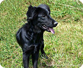 Spaniel (Unknown Type)/Terrier (Unknown Type, Medium) Mix Puppy for adoption in Mt Sterling, Kentucky - Susan