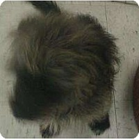 Adopt A Pet :: Kieran - Phoenix, AZ