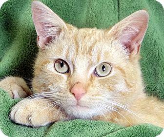 Domestic Shorthair Cat for adoption in Renfrew, Pennsylvania - Cinder