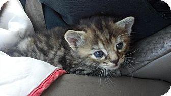 Bengal Kitten for adoption in Cerritos, California - Victoria
