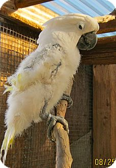Cockatoo for adoption in Burleson, Texas - Tuco