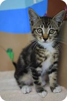 Domestic Shorthair Kitten for adoption in Bradenton, Florida - Magnolia