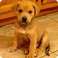 Adopt A Pet :: Joey - Marlton, NJ