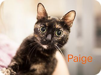 Domestic Shorthair Cat for adoption in Dallas, Texas - Paige