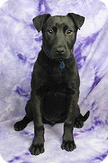 Labrador Retriever/Shar Pei Mix Puppy for adoption in Westminster, Colorado - Navajo