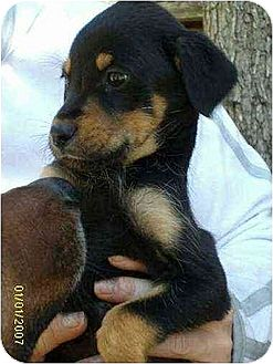 Terrier (Unknown Type, Medium) Mix Puppy for adoption in Williston Park, New York - Scooter
