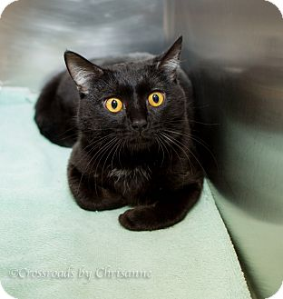 Domestic Shorthair Cat for adoption in Sierra Vista, Arizona - Rowdy