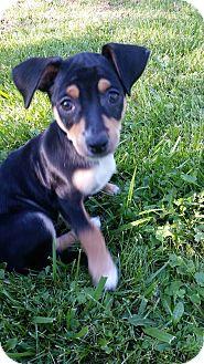 Dachshund/Chihuahua Mix Puppy for adoption in China, Michigan - Abbott
