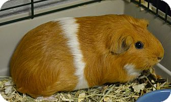 Guinea Pig for adoption in Michigan City, Indiana - Cocoa