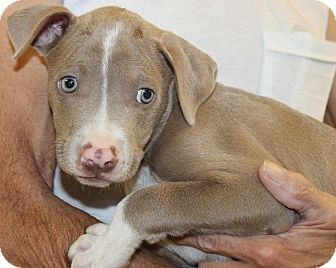 Labrador Retriever/Pit Bull Terrier Mix Puppy for adoption in Seville, Ohio - Moe