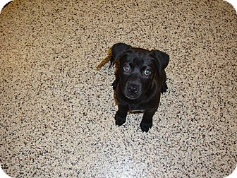 Labrador Retriever Mix Puppy for adoption in Aiken, South Carolina - Brylee