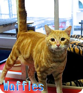 Domestic Shorthair Cat for adoption in Bloomingdale, New Jersey - Waffles