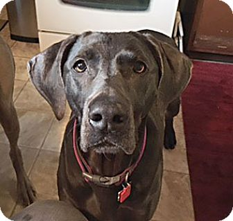Weimaraner Dog for adoption in Grand Haven, Michigan - Lilly