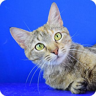 Domestic Shorthair Cat for adoption in Carencro, Louisiana - Lilly