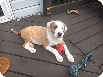 Boxer Mix Puppy for adoption in Westminster, Maryland - Fudge