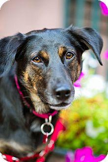 English Shepherd/Beagle Mix Dog for adoption in Bedford Hills, New York - Anna Garrett