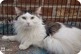 Norwegian Forest Cat Cat for adoption in Merrifield, Virginia - Jeffrey