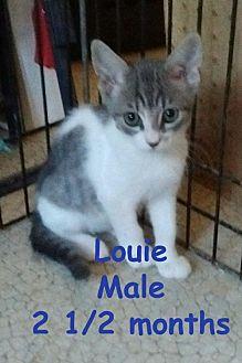 Domestic Shorthair Cat for adoption in Visalia, California - Louie