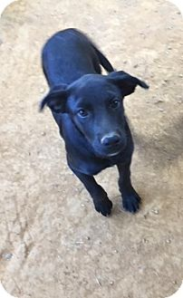 Labrador Retriever Mix Puppy for adoption in Charlotte, North Carolina - Erin