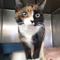Domestic Shorthair Cat for adoption in Ashtabula, Ohio - Perscilla