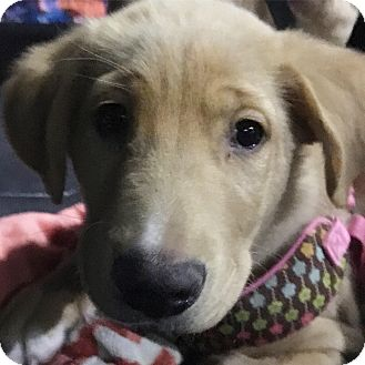 Retriever (Unknown Type) Mix Puppy for adoption in Edmonton, Alberta - Ace