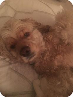 Cocker Spaniel Mix Dog for adoption in New York, New York - Roscoe