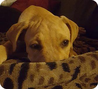 Labrador Retriever Mix Puppy for adoption in Sanford, Florida - Corana