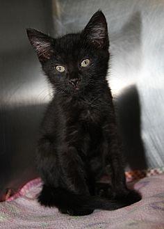 Domestic Shorthair Kitten for adoption in Marietta, Ohio - Sweet Pea