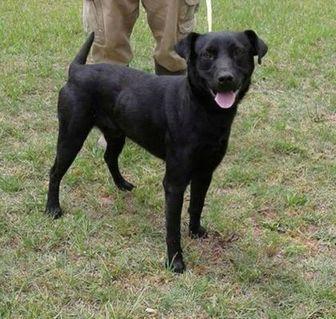 Labrador Retriever Mix Dog for adoption in Dublin, Georgia - Slater