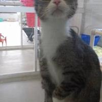 Domestic Shorthair/Domestic Shorthair Mix Cat for adoption in Winona, Minnesota - Vixen