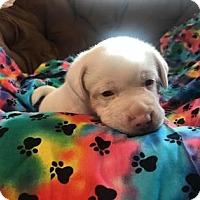 Adopt A Pet :: Makrana - Newport, KY