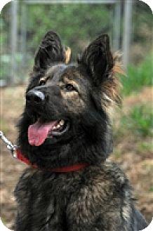German Shepherd Dog Dog for adoption in Dana Point, California - Riley