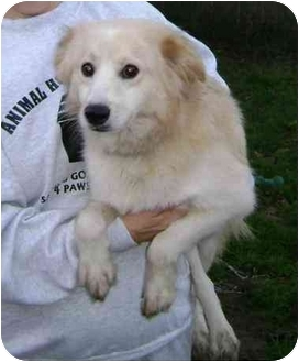 Sheltie, Shetland Sheepdog/Cocker Spaniel Mix Dog for adoption in Wauseon, Ohio - Mellow Yellow