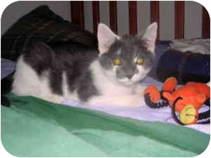 Domestic Shorthair Cat for adoption in Byron Center, Michigan - Dublin