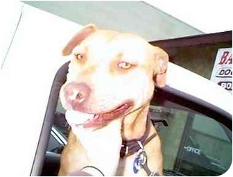American Pit Bull Terrier Dog for adoption in West Los Angeles, California - Annie