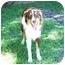 Photo 1 - Australian Shepherd Dog for adoption in Orlando, Florida - Chance