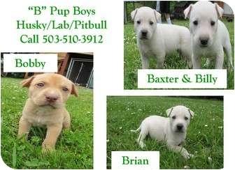 """Husky/Labrador Retriever Mix Puppy for adoption in Salem, Oregon - """"B"""" Pups - Boys"""