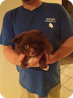 Pomeranian Puppy for adoption in Lonedell, Missouri - pom