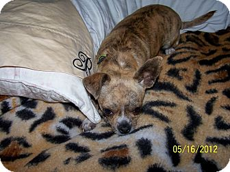 Chihuahua Dog for adoption in West Los Angeles, California - Apple