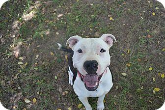 American Pit Bull Terrier Puppy for adoption in Hamburg, Pennsylvania - Matilda