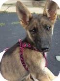 German Shepherd Dog Mix Puppy for adoption in Plainfield, Illinois - Lexus