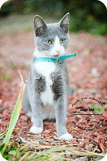 Domestic Shorthair Cat for adoption in San Antonio, Texas - Abigail
