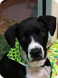 Hound (Unknown Type)/German Shorthaired Pointer Mix Dog for adoption in Fort Worth, Texas - SPUNKY