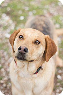 Labrador Retriever/Hound (Unknown Type) Mix Puppy for adoption in Hot Springs, Arkansas - Zaddie