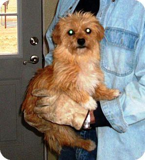 Shih Tzu Mix Dog for adoption in Post, Texas - Goldie