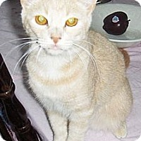 Adopt A Pet :: Nibbles - Chandler, AZ